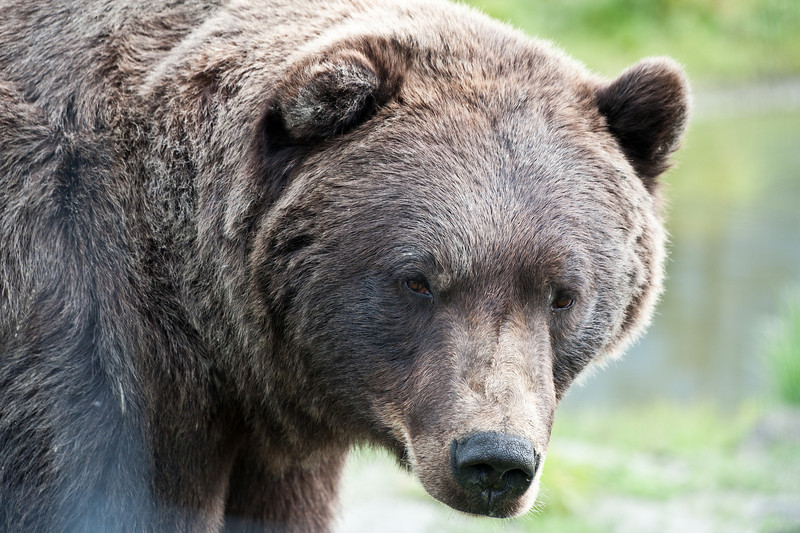 The big brown bear.