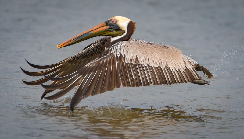Pelican takeoff 032518 (1 of 1).jpg