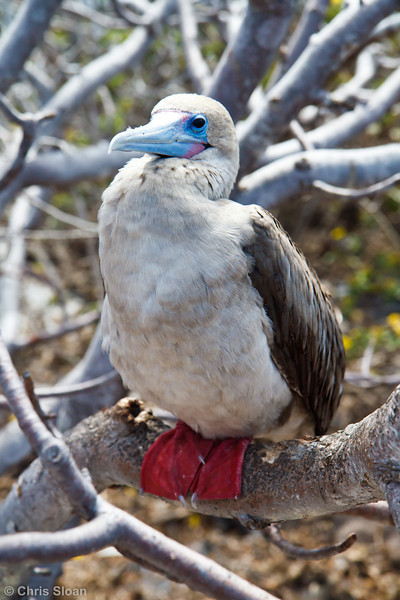 Red-footed Booby brown morph adult at Prince Phillip Steps, Genovesa, Galapagos, Ecuador (11-25-2011) - 832.jpg