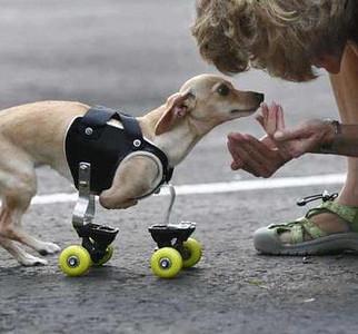 "Animal ""wheelchairs"""