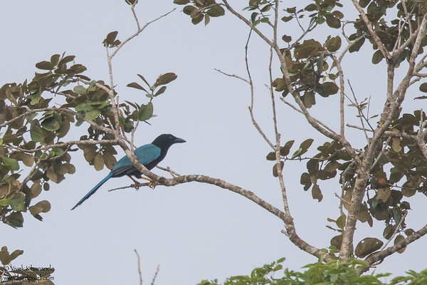 Yucatan Jay