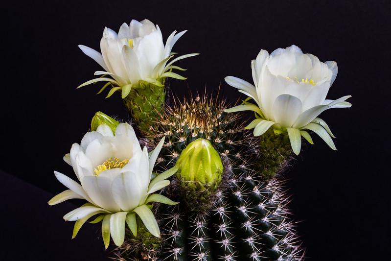 Cactus Flowers 5-18-2017d.jpg