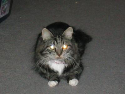 Hobbit - Cyndi Chu's cat