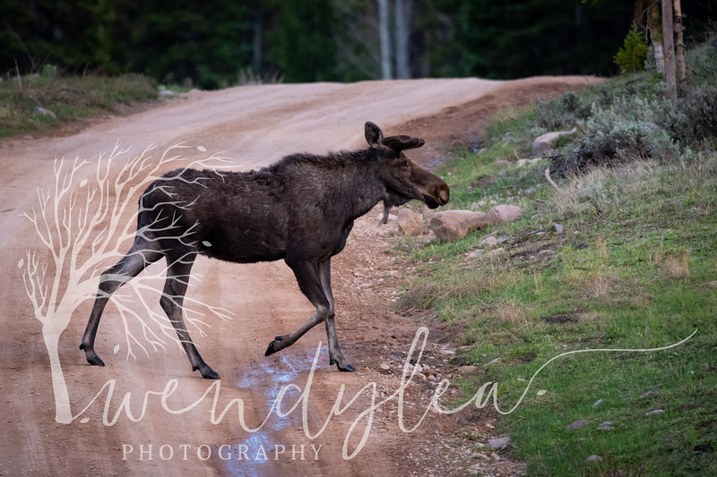 wlc moose872020.jpg