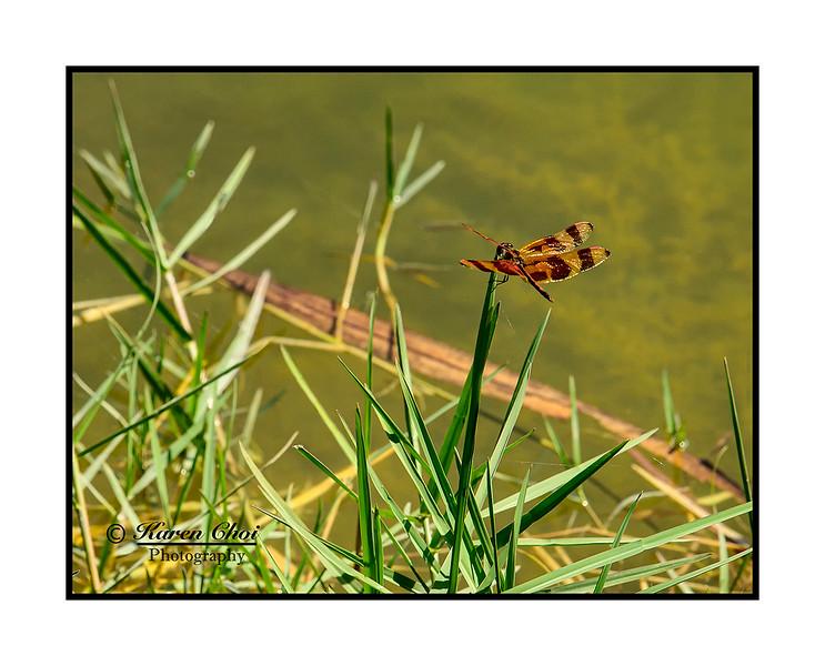 Dragonfly on grass sm.jpg