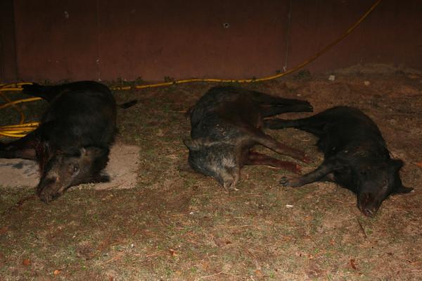 Hog Wild Hunt with HWA