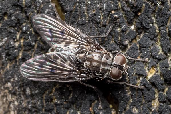House flies (Muscidae)
