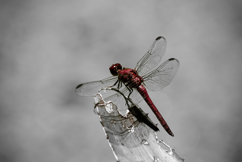 Dragonfly B&W With Selective Color