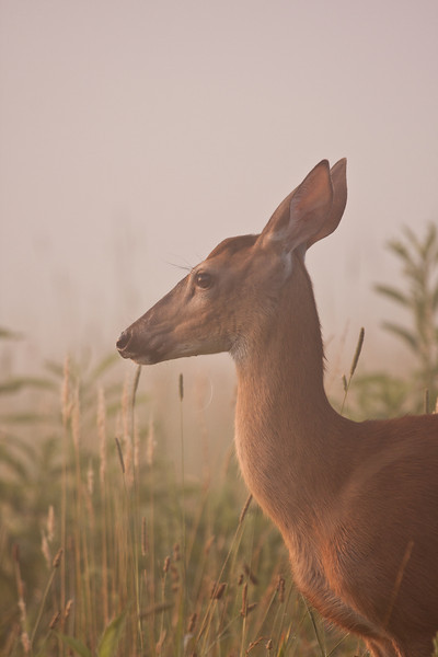 White tailed doe on a foggy morning.