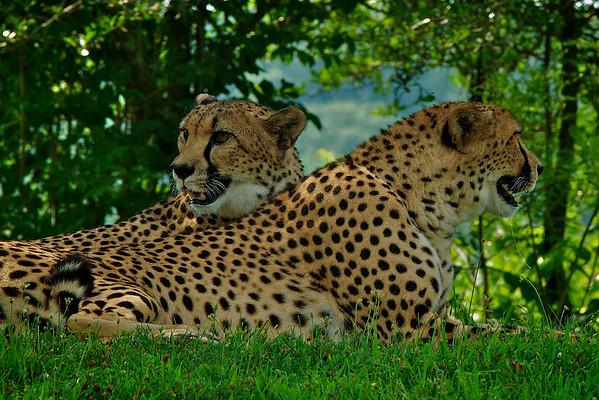 Running of the Cheetahs