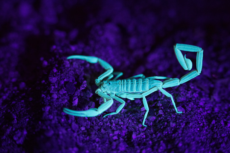 A scorpion's exoskeleton glows in the presence of a blacklight.