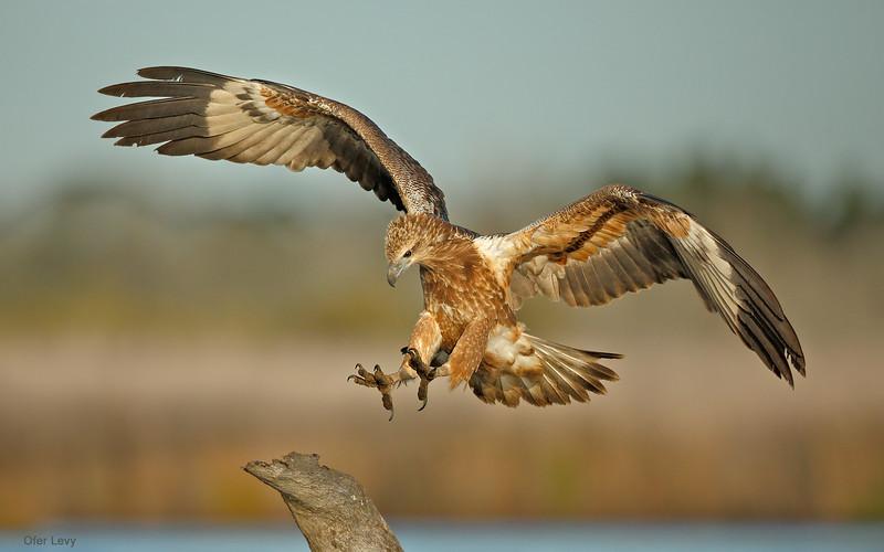 White-bellied Sea Eagle 5.jpg