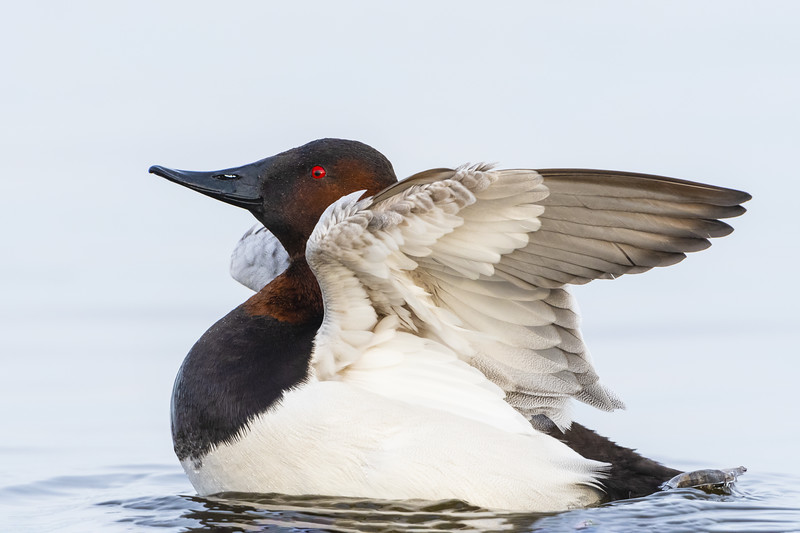 Canvasback Drake Twenty Six.jpg