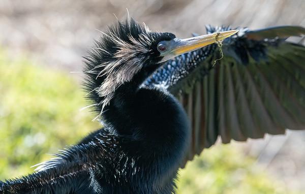 Anhinga with swampgrass on beak