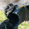 Anhinga with swampgrass on beak