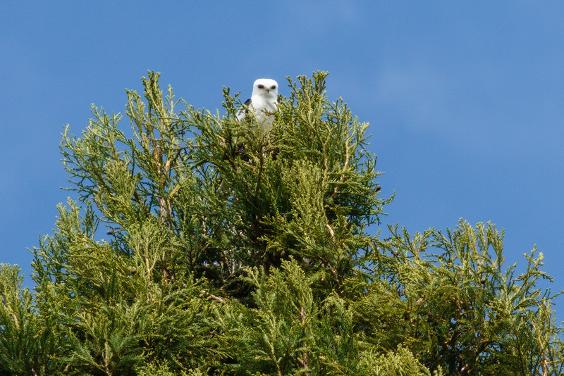 New White-tailed Kite in the neighborhood