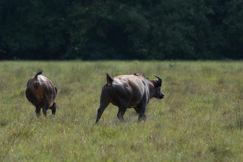 Buffalo running.