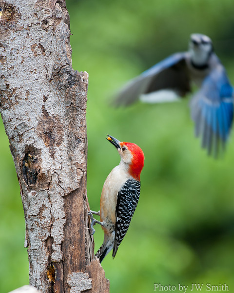 Blue Jay Dive-bombing a Red-bellied Woodpecker