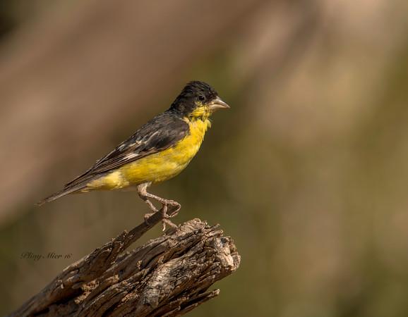 Lesser Goldfinch LL_DWL0718.jpg