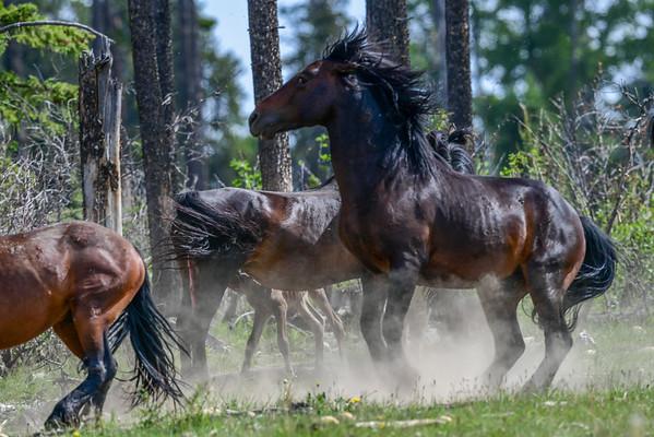 8-3-16 *^Alberta Wild Horses - The Dust Up