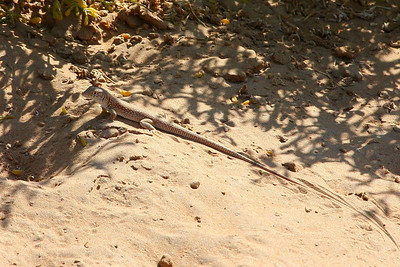 White-spotted Lizard