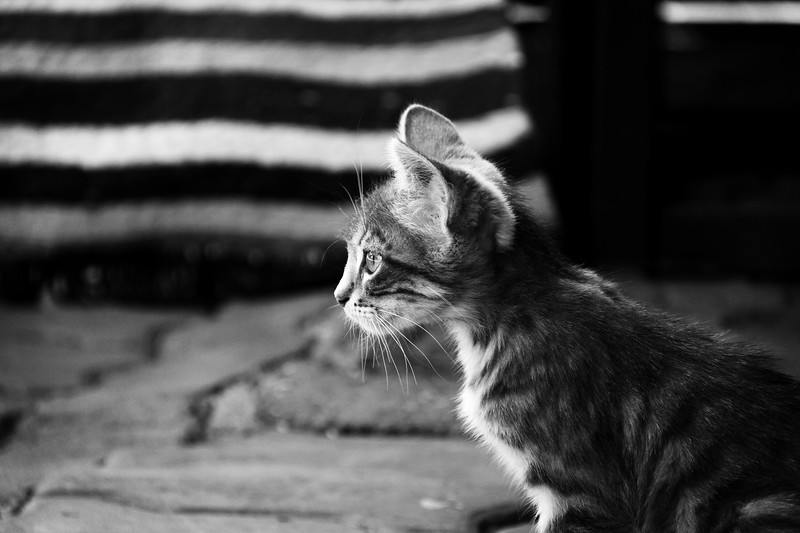 Marrakesh Kitten