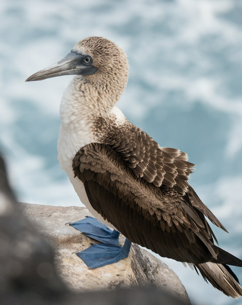 Blue Footed Booby - S. Plaza Island