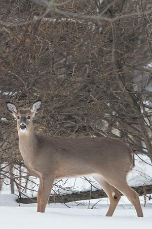 2.2.19 Deer in the Yard