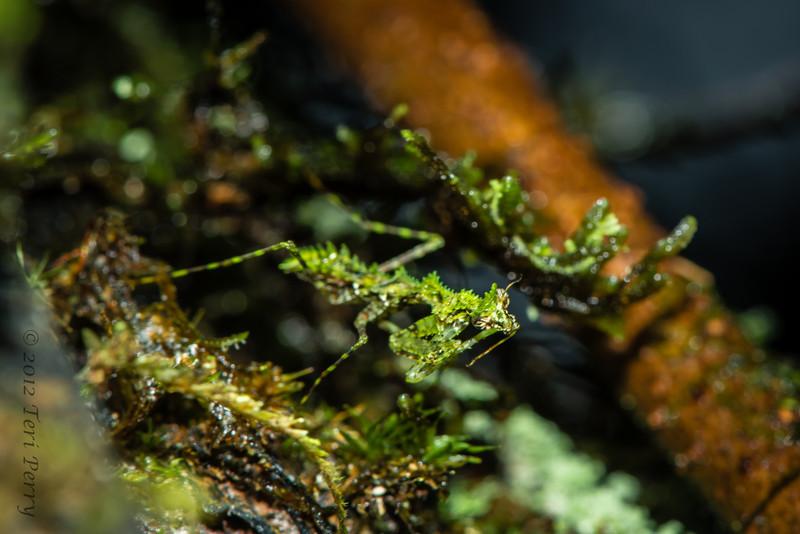 INSECT - tiny praying mantis -1215.jpg