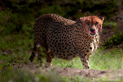 Cheetah fresh from the kill #2