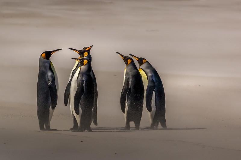 King penguins, Volunteer Point, Falkland Islands