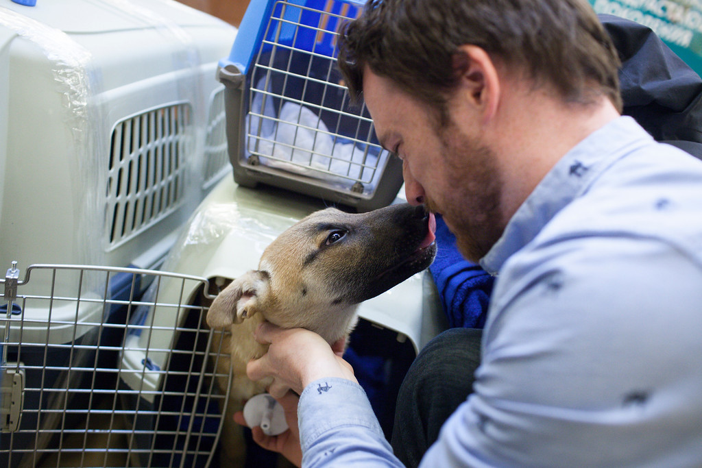 . In this image released on Friday, March 14, 2014, one of the dogs offers a kiss of gratitude to Robin Macdonald, Gus Kenworthy\'s good friend, who stayed behind in Russia after the Olympics to look after the animals until they were released for travel. Humane Society International has been working with Macdonald and Kenworthy for the past several weeks in trying to transport the dogs from Sochi, Russia, to the United States. (Alexander Zemlianichenko Jr./AP Images for Humane Society International)