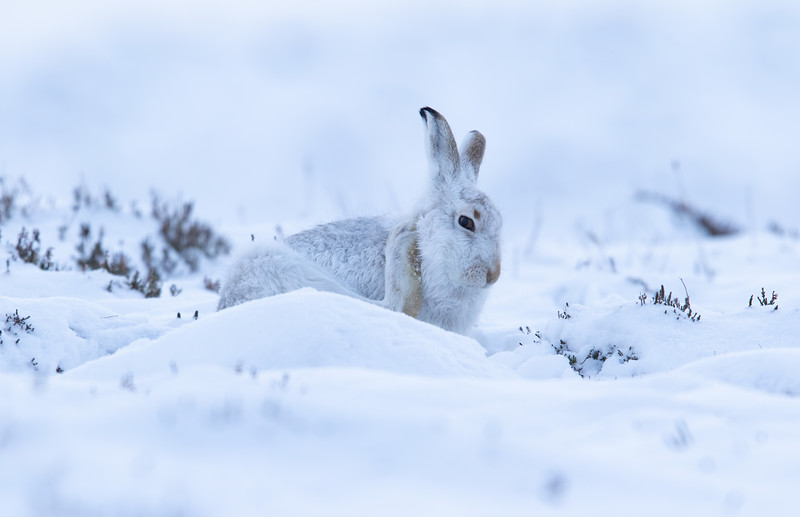 MountainHare_16-01-18_1C4A4080_filtered.jpg