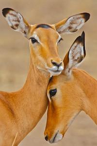 Antelope:  Topi, Impala, Wildebeest & Oryx