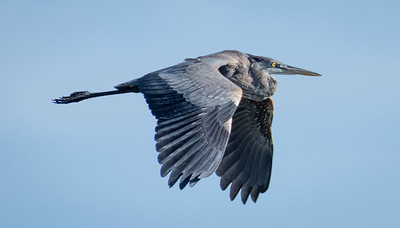 A lonely Great Blue Heron
