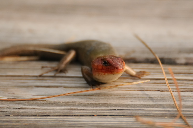 Dave spotted two broad-headed skinks.  Adult males are olive brown in color and have bright orange heads during mating season in spring.