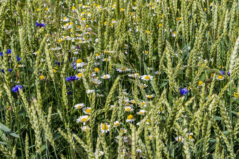 Variert ugrasflora i høstkorn i Sverige