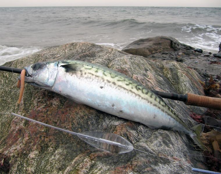 Makrel 700 g, 42 cm. Djursland september 2011.