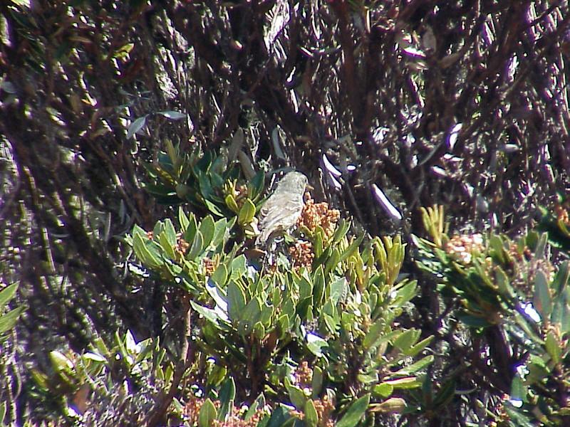 Peg-billed Finch female at Cerro de la Muerte Costa Rica 2-15-03 (50898215)