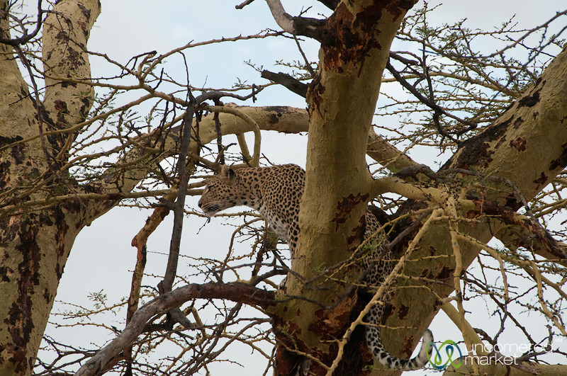 Leopard in the Tree - Serengeti, Tanzania