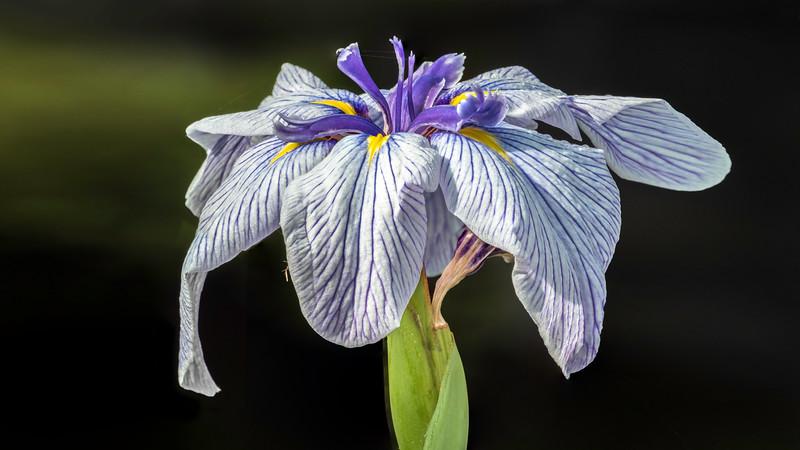 00100 Blue Iris litle stack 16x9.jpg