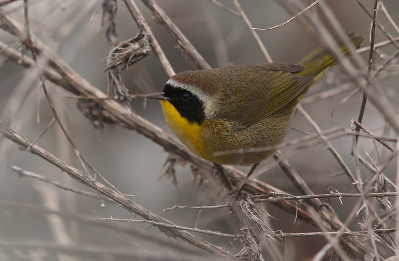 WB~Yellowthroat1600neated.jpg