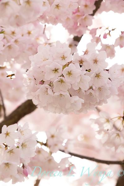 Prunus x yedoensis flowering cherry_6204.jpg