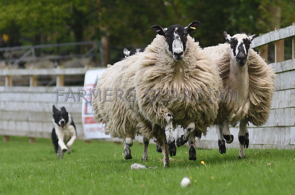 SKIPTON SHEEPDOG SALE MAY 2017