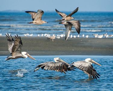 _DSC6311_pelicans