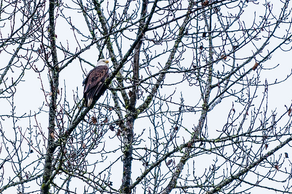 Eagles from the Skagit Valley