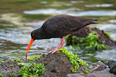 New Zealand Birds - Other Water Birds