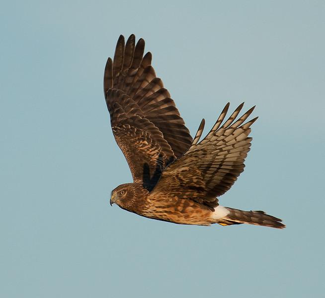 Northern Harrier Sugar Land, TX