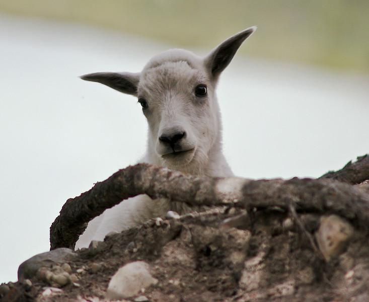 Baby Goat 2.jpg