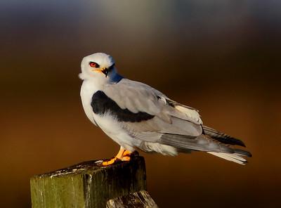 Nighthawks/Kites